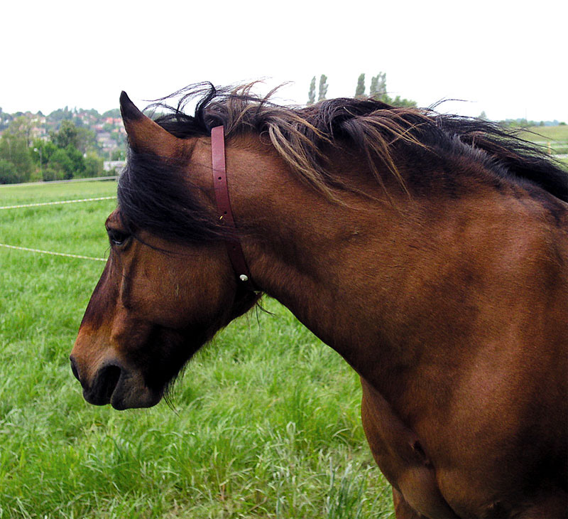 Horse wearing fly repellent collar