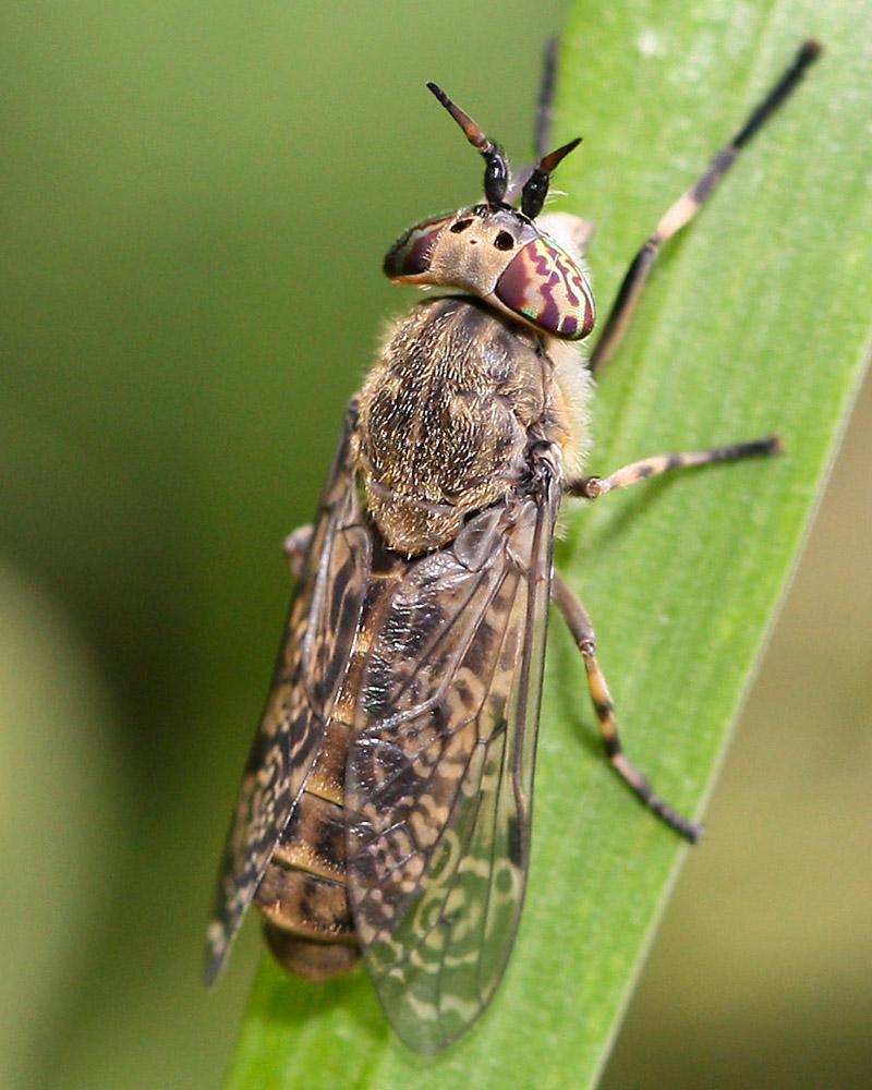 Horsefly on grass