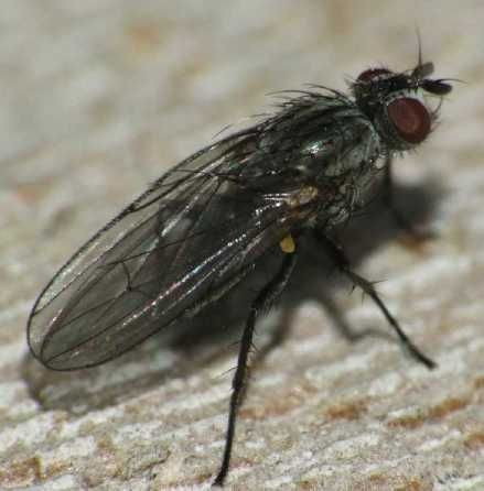 Lesser house fly (Fannia canicularis)
